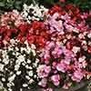 Bedding Begonia Challenger F1 Mix