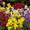 Hardy Wallflowers - Compact Harlequin Mix