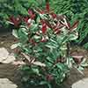 Photinia Red Robin 6 pack