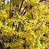 Dwarf Patio flowering Forsythia - 3 plants