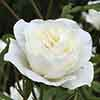 Gift Rose Silver Anniversary