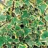 Trailing Variegated Ivy plugs