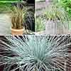 Ornamental Grasses collection