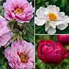 Japanese Tree Paeony collection