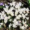 Large-Flowered Crocus White