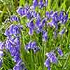 British Native Bluebells