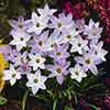Complete Spring Flowering Bulb Collection