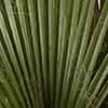 Hardy Cotton Palm Washingtonia robusta 1M