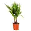 Hardy Cotton Palm Washingtonia robusta 1M