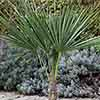 Trachycarpus Hardy Fan Palm