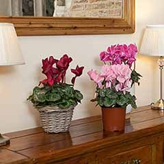 3 Potted Christmas Cyclamen Plants in Mixed Colours