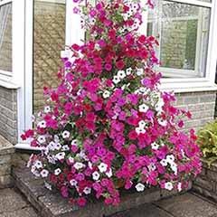 Tower Pot With 6 Climbing Petunias