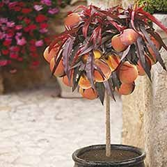 Red-Leaved Patio Peach Tree �Crimson Bonfire�