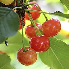Sweet Cherry 'Bigarreau Napoleon' Tree