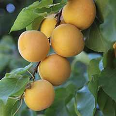 Apricot Aprigold Patio Fruit Tree in a 7.5L Pot