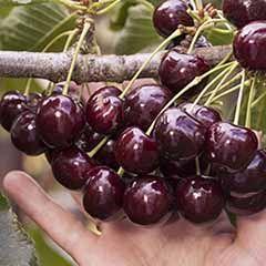 Patio Sweet Cherry tree 'Lapins' 4.5L pot 1M tall