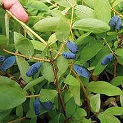 Honeyberry 'Balalaika'
