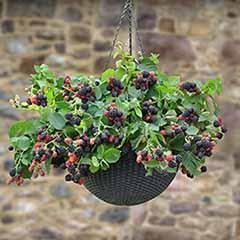 Hanging Basket Blackberry Black Cascade