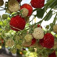 'Strasberry' - The Raspberry Strawberry