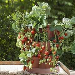 8 Strawberry Grow In Pods & 8 'Buddy' plants