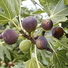 Fig 'Rouge de Bordeaux'