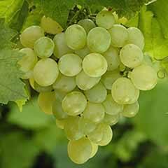 Table Grape 'Superior Seedless White' standard