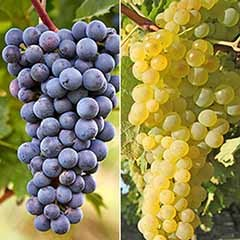 Pair Grapevines 1L - 'Supaga' and 'Zilga'