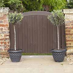 Pair of 1m Tall Olive Standards with Large Pinecone Planters