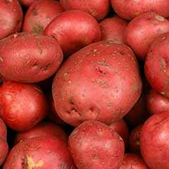 Premium Seed Potato ''Albert Bartlett Rooster' - maincrop