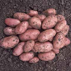 Seed Potato 'Desiree' - maincrop