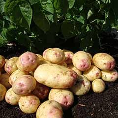 Seed Potato 'King Edward' - maincrop