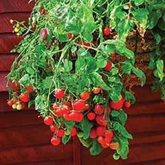 'Tumbling Tom' Tomato