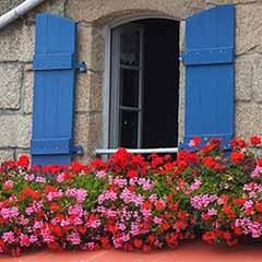 Trailing Balcony Geranium 'Decora' Collection