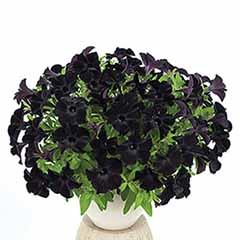 Petunia 'Back to Black'