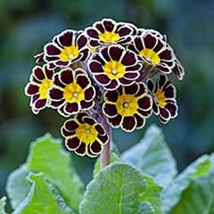 Primula �Gold Lace�