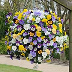 Trailing Hardy Pansy �Cool Wave� Mix