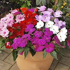 New Guinea Busy Lizzie Divine Mixed - mildew resistant
