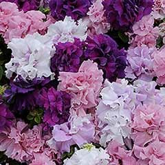 Trailing Petunia 'Double Cascade' mix 24 plugs