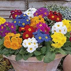 Polyanthus 'Crescendo' Mix