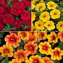 Trailing Mini Petunia 'Kabloom Flame Mix'