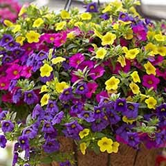 Trailing Mini Petunia 'Million Bells' Collection