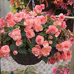 Fragrant Begonia 'Sweet Spice' Collection