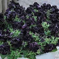 Petunia 'Black Night'