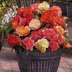 Fragrant Trailing Begonias Heaven Scent Buy 12 and get 12 FREE
