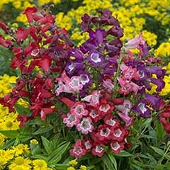 Perennial Hardy Penstemon Colletion - 12 plugs