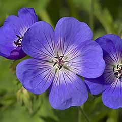 Hardy Geranium 'Rozanne' - RHS Plant of the Centenary