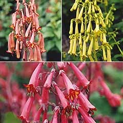 Phygelius Cape Fuchsia Collection
