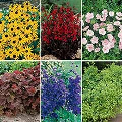 Cottage Garden Perennial Favourites x 6 Garden Ready Plants