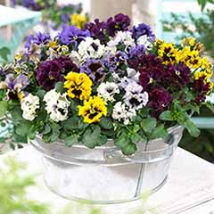 Pansy 'Frizzle Sizzle' Mix
