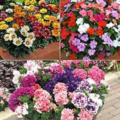 120 Plug Plant Bundle - 40 x Gazania, Busy Lizzie & Petunia